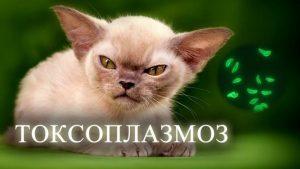 токсоплазмоз у кошки