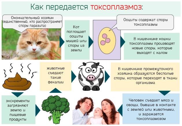 пути заражения кошки токсоплазмозом