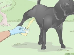 взятие мочи у собаки-кобеля