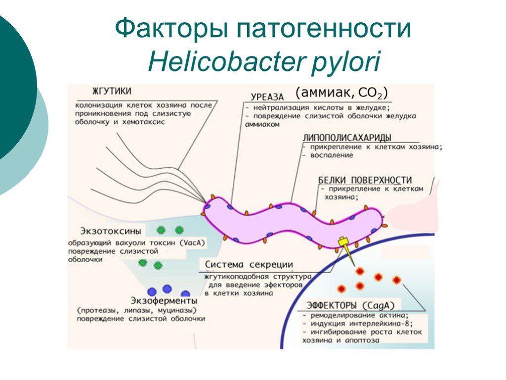 хеликобактер и ее патогенность