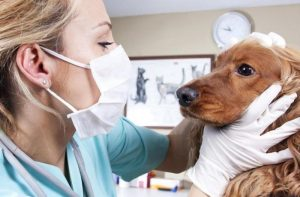 ветеринар осматривает собаку