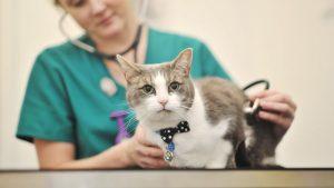 осмотр кошки перед стерилизацией