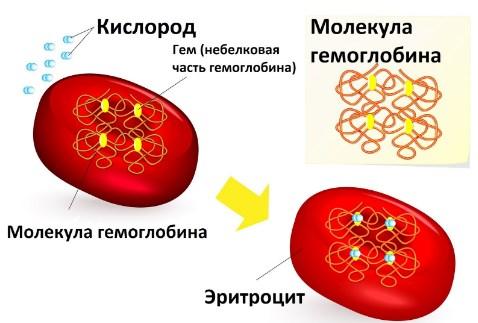Определение hgb в анализе крови у мужчин, женщин и детей