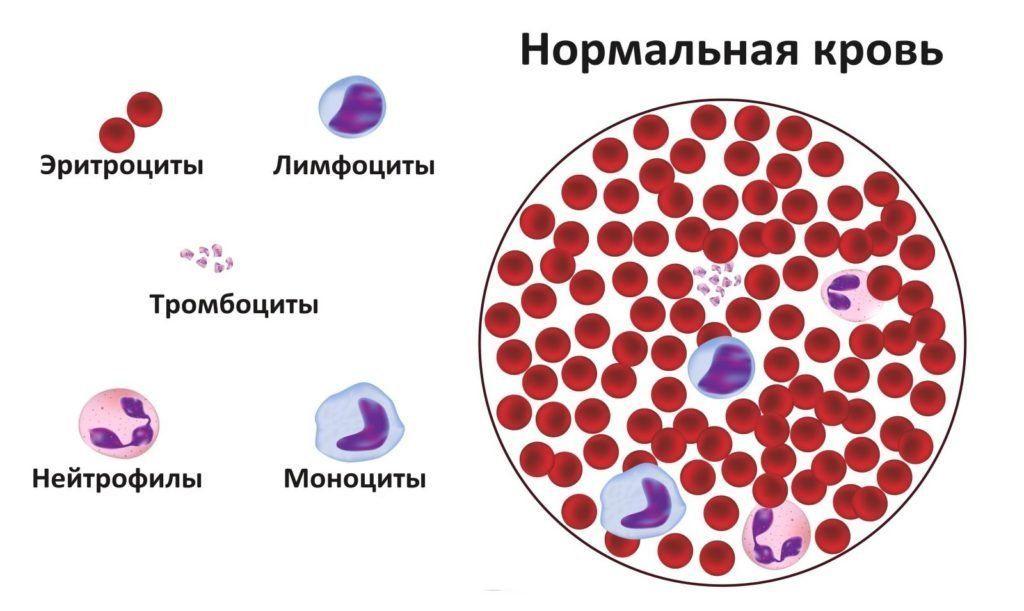 нейтрофилы под микроскопом
