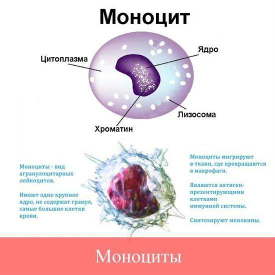 значение моноцитов