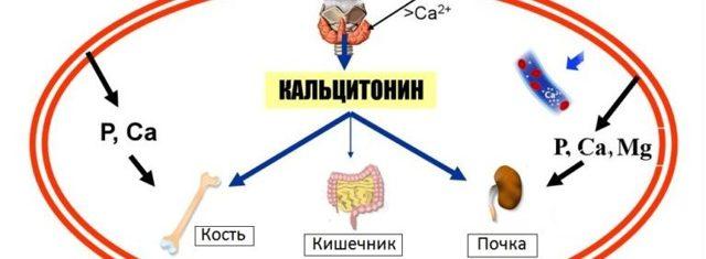 кальцитонин и его действие