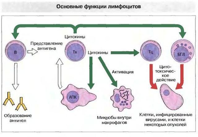 действие лейкоцитов в организме