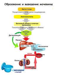 образование мочевины в организме
