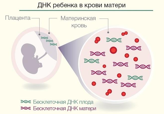 ДНК ребенка в крови матери