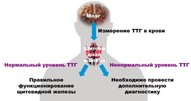 действие ТТГ в организме