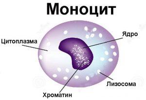 моноцит и его структура