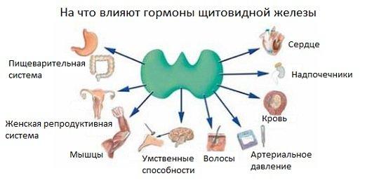 значение гормонов щитовидки для организма