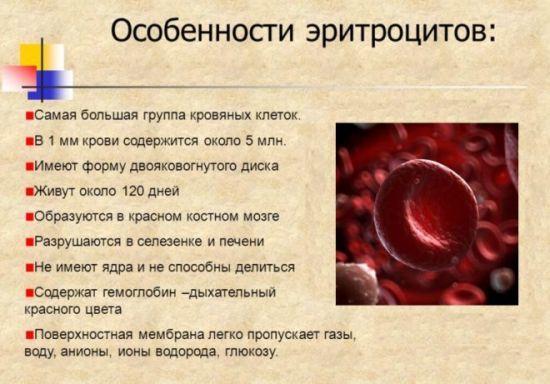 эритроциты и их особенности