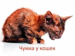 кошка больная чумкой
