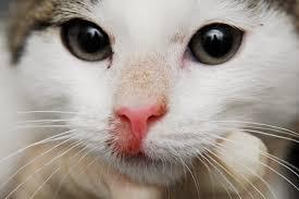 анализ на лишай у кошки
