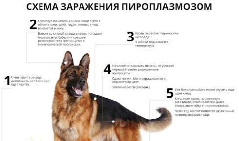 способы заражения пироплазмозом собак