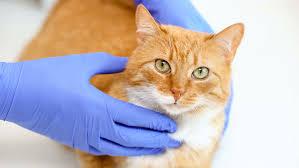 врач ветеринар осматривает кошку