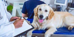 врач изучает анализ на пироплазмоз у собак