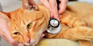 ветеринар оценивает состояние кота