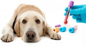 в пробирке анализ крови собаки