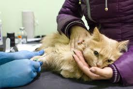 ветеринар берет общий анализ крови у кошки