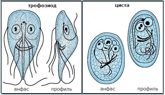 лямблиоз его формы и виды