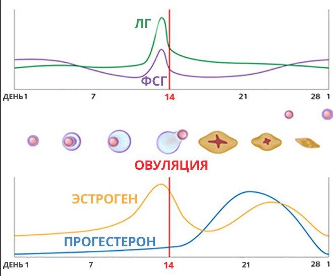 фазы цикла и синтез гормонов