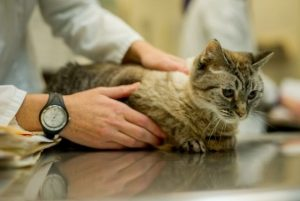врач подбирает анализ на коронавирус у кошек