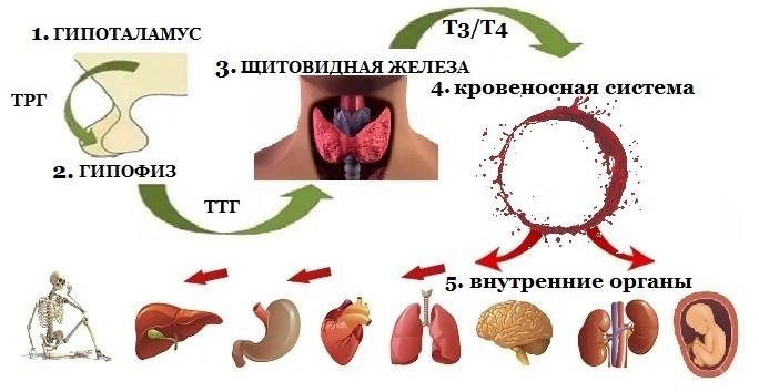 развитие гипотиреоза